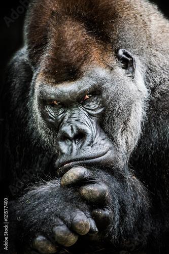 Photo  Western Lowland Gorilla II