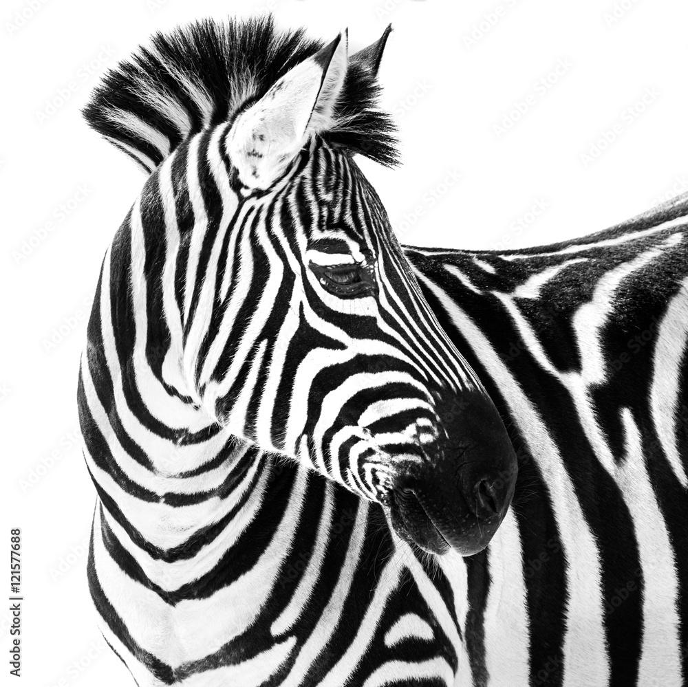 Fototapety, obrazy: Zebra in Snow II