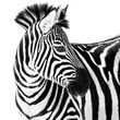 Zebra in Snow II