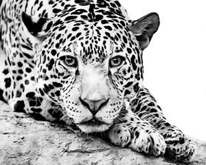 Obraz na Szkle Do sypialni Jaguar IV