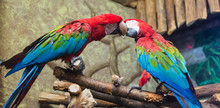 Cockatoo Parrots