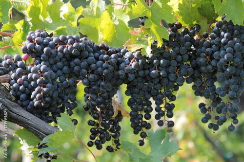Fotomural Grappoli di uva nera