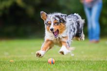 Australian Shepherd Dog Jumping For A Ball