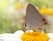 Gray Hairstreal Butterfly On A Shasta Daisy Flower