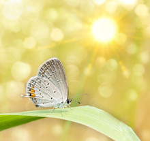 Dreamy Image Os A Gray Hairstreak Butterfly On Blade Of Grass