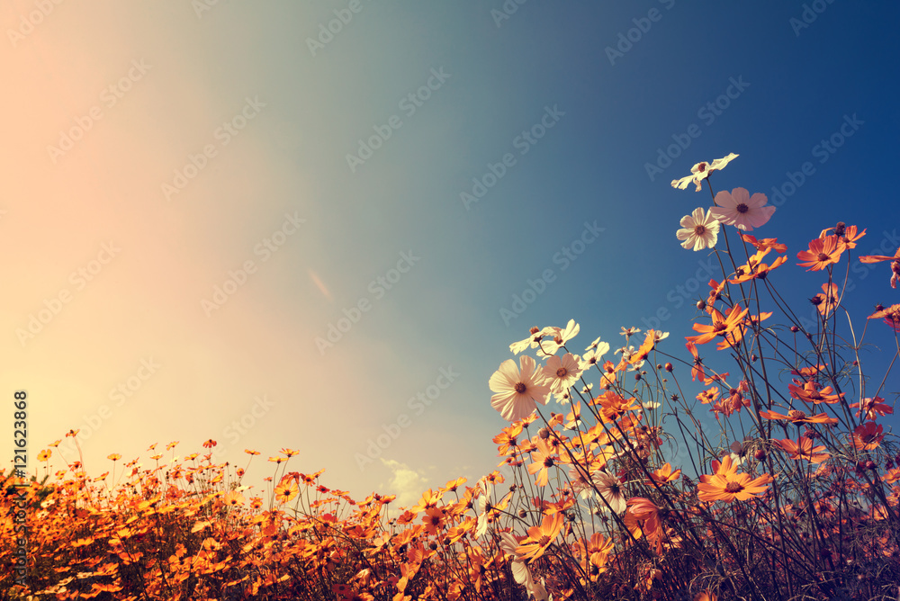 Vintage landscape nature background of beautiful cosmos flower field on sky with sunlight in autumn плакат