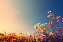 Vintage Landscape Nature Background Of Beautiful Cosmos Flower Field On Sky With Sunlight In Autumn. Retro Color Tone Filter Effect