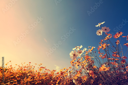 Vintage landscape nature background of beautiful cosmos flower field on sky with sunlight in autumn Plakat