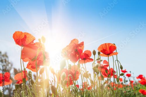 Fotobehang Poppy Field with beautiful red poppy flowers