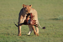 A Lioness (Panthera Leo) With ...