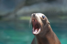 Cute Sea Lion With His Mouth W...