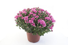 Pink Chrysanthemum Potted