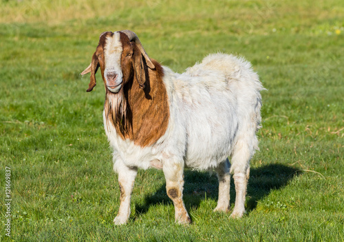 Photo  Billy Goat