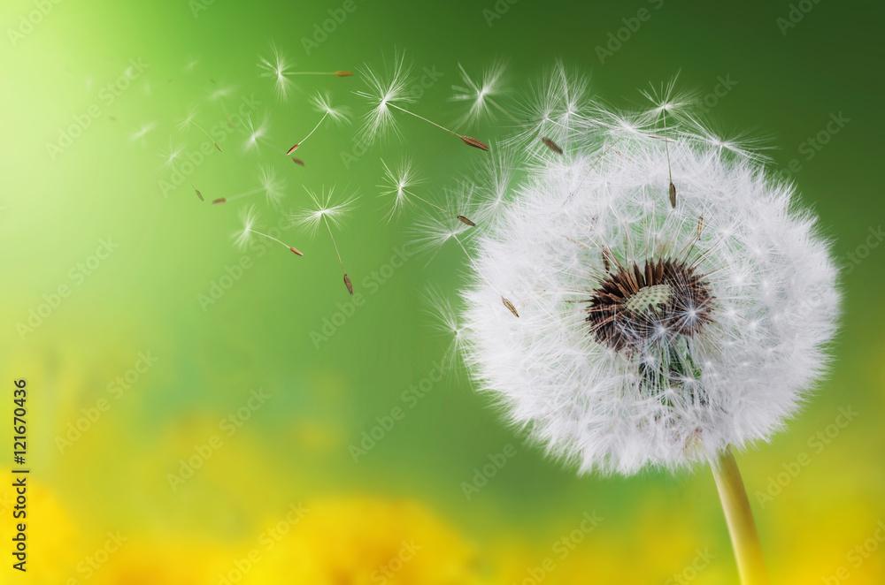 Fototapety, obrazy: Dandelion morning