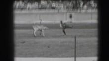 1941: Rodeo Calf Nearly Ropes The Roper. CALIFORNIA