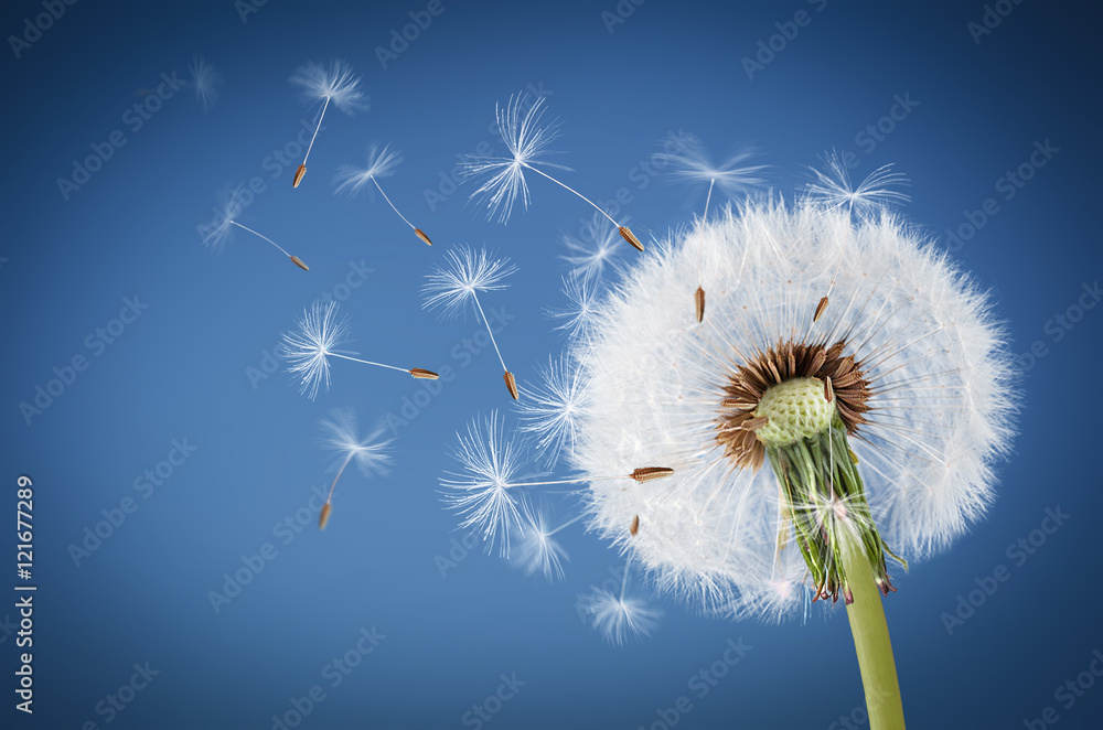 Fototapety, obrazy: Close up of dandelion