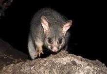 Mountain Brush-tailed Possum