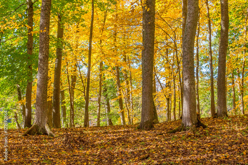 Foto  Deciduous trees with autumn colors in a forest