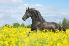 Beautiful Friesian Stallion Running On The Yellow Meadow.