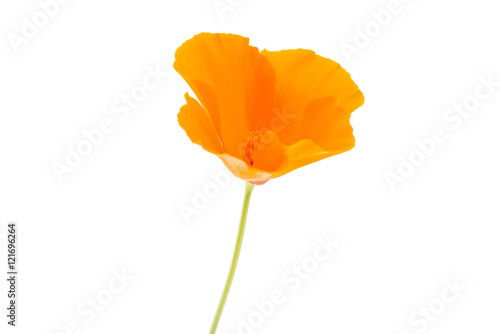 Poster Poppy orange poppy flower