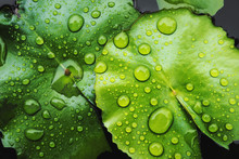 Low Key Images, Water Droplets On Lotus Leaf