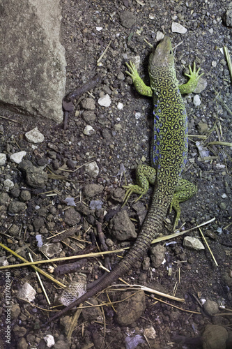 Photo  Ocellated lizard (Timon lepidus).