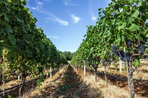 Carta da parati  vineyard grape ranks in Bosnia and Herzegovina