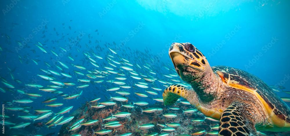 Fototapety, obrazy: Hawksbill Sea Turtle in Indian ocean
