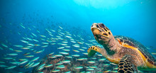 Hawksbill Sea Turtle In Indian...