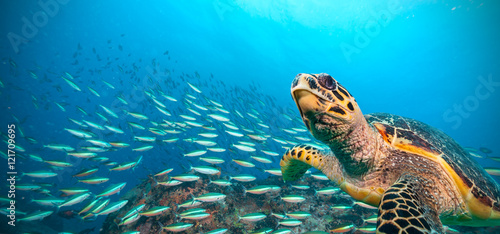 Wall Murals Under water Hawksbill Sea Turtle in Indian ocean