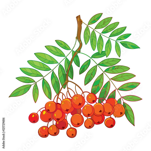 Fotografie, Obraz  Vector illustration of branch with outline Rowan or Rowanberry, leaves and berry isolated on white