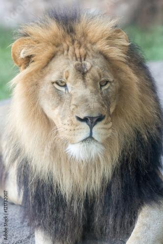 Fototapety, obrazy: Lion Face Closeup