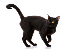 Bombay Black Cat On A White Background