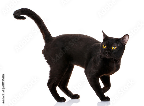Chat Bombay black cat on a white background