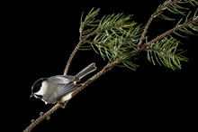 A Carolina Chickadee Is Perched On A Pine Branch Against A Black Background.