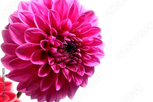 Foto op Plexiglas Dahlia dahlia garden image as an element festive floral arrangements