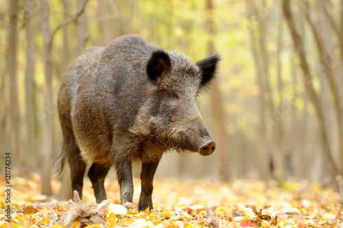 Wild boar in autumn forest Poster Mural XXL