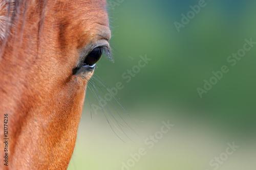 Valokuva  Eye of arabian bay horse
