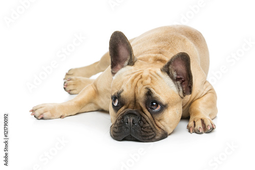 Stickers pour portes Bouledogue français Beautiful french bulldog dog