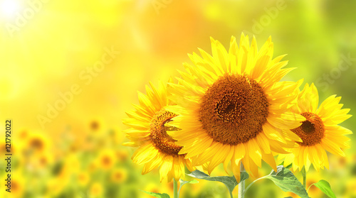 Keuken foto achterwand Zonnebloem Sunflowers on blurred sunny background