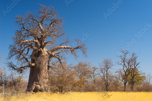 In de dag Baobab Huge Baobab plant in the african savannah with clear blue sky. Botswana, one of the most attractive travel destionation in Africa.