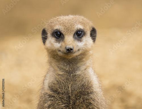 Meerkat Fototapeta