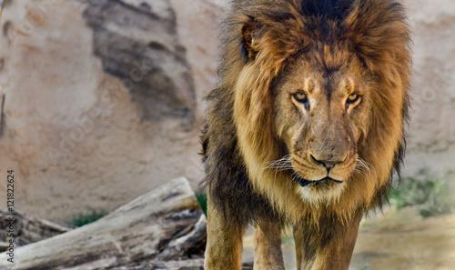 Fotobehang Leeuw Male lion with a full mane