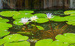 Three water lily