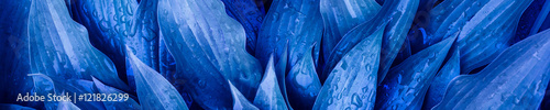 Fotografía  The panoramic background of the blue leaves with drops of rain
