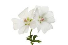 Two White Geranium Flowers