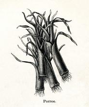 Leek (Allium Ampeloprasum) (fr...