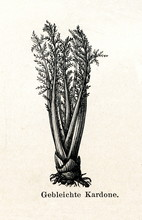 Bleached Cardoon (Cynara Cardunculus) Stalks (from Meyers Lexikon, 1895, 7/288/289)