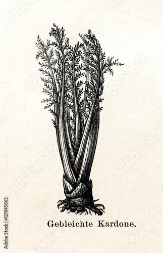 Slika na platnu Bleached cardoon (Cynara cardunculus) stalks (from Meyers Lexikon, 1895, 7/288/2