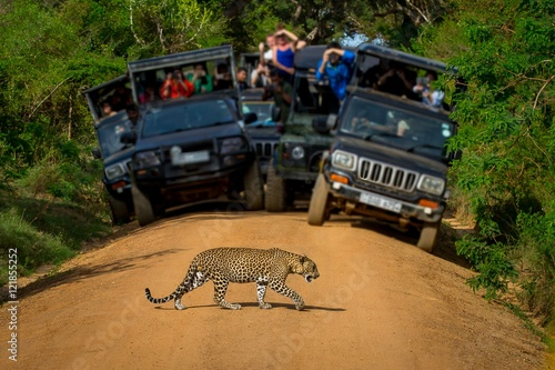 Photo Safari. Leopard crossing the road in front of the audience.